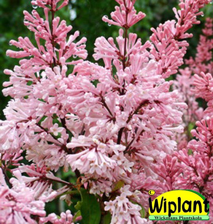 Syringa 'Coral', prestonsyren. Ljust laxrosa blommor i juni-juli. Höjd: 2-3 m.