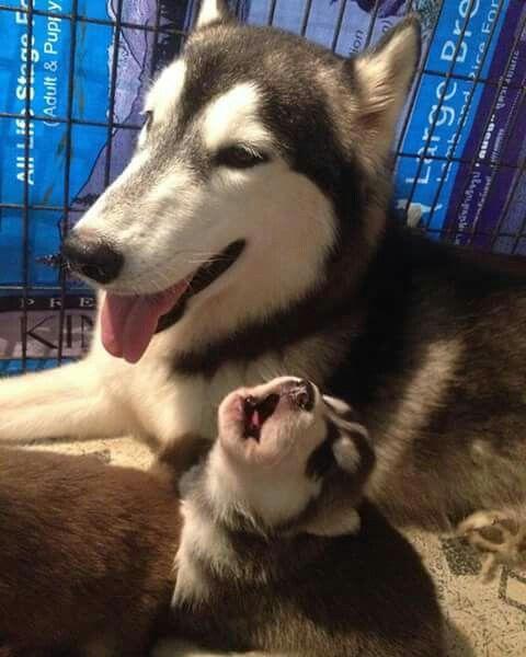 Baby husky howl!