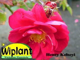 Henry Kelsey växer till ca 1,5-2,5 m höjd med helröda blommor som är 6-8 cm i diameter. Blommorna kommer i klasar om 9-18 blommor. Härdig till USDA zon 3 (-35C) och hos oss klarar den sig om den böjs ner och täcks med granris.