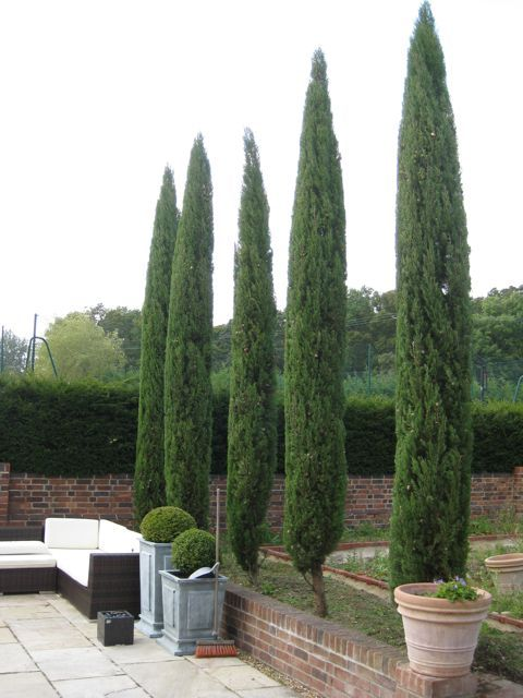 Cupressus pyramidals after a trim by Architectural Plants