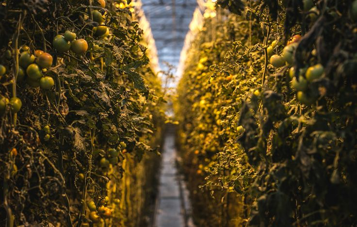 New Blog Post up!   Tomatoes are cultivated all year round using the latest technology, in an environmentally-friendly way: green energy, pure water and organic pest controls on the magical island of Iceland.   http://andrealucy.com/food-photography-blog/