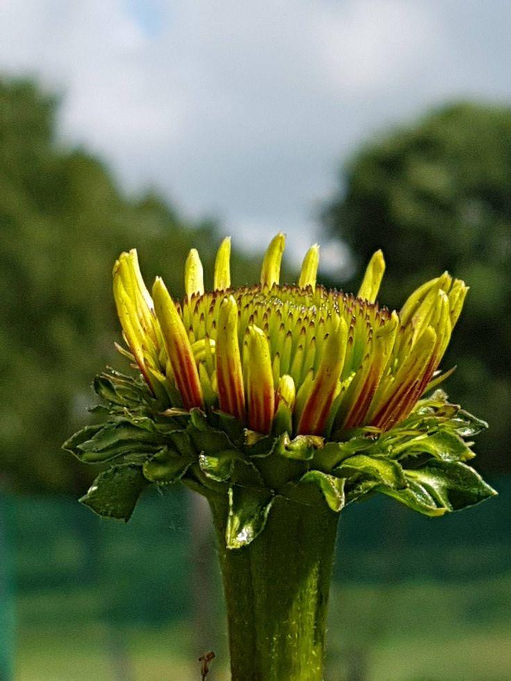 Echinacea Eccentric