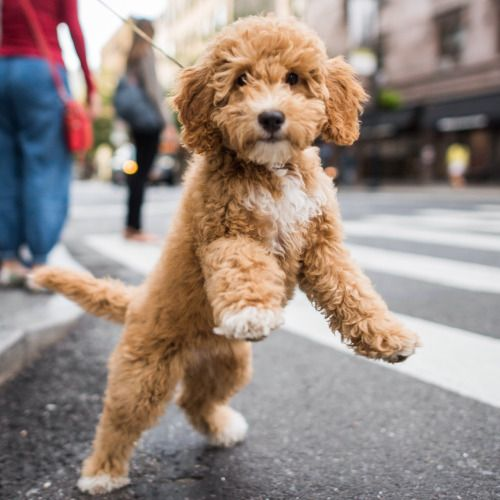 Abigail, Miniature Labradoodle (12 w/o), 8th & 5th Ave., New...
