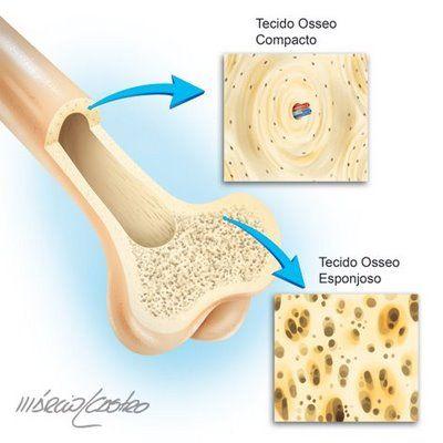 Tecido conjuntivo ósseo - Tecido rígido, rico em sais minerais, cálcio e colágeno o que torna os ossos rígidos e resistentes. Além disso, é inervado e irrigado por sangue, sendo sua principal função a sustentação do corpo, uma vez que compõe o esqueleto humano.