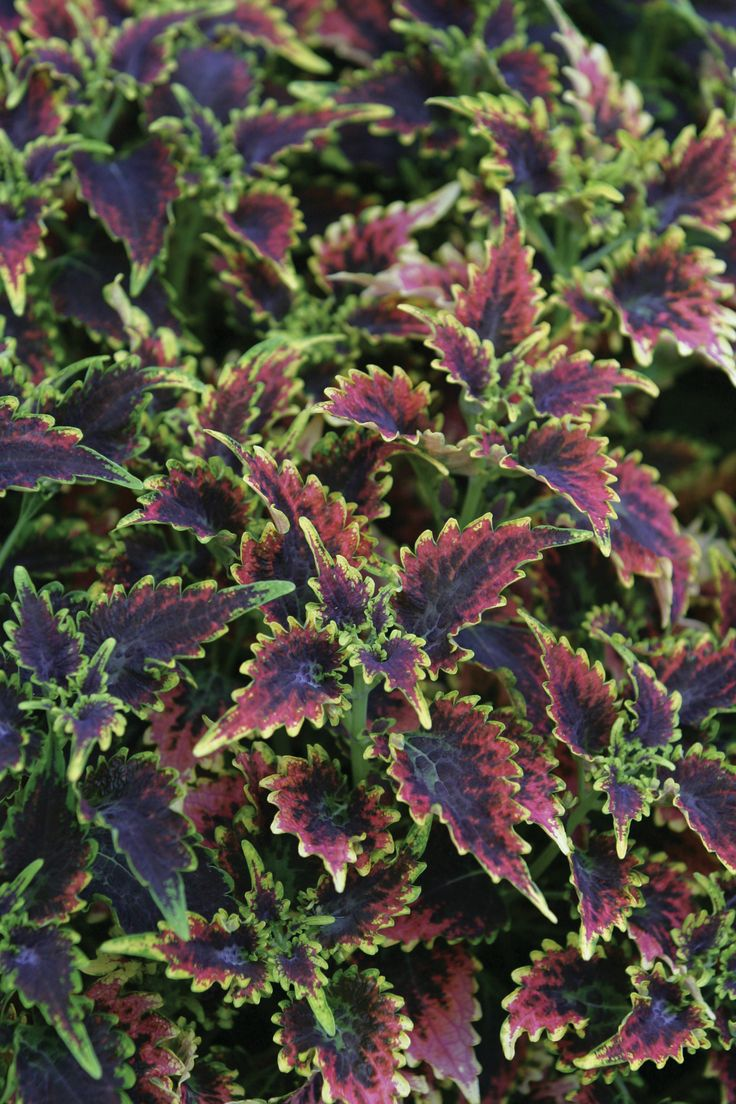 Durable Plants For The Garden: 17 Best Images About Coleus..mom Collection On Pinterest