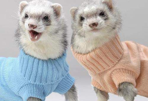 Styling in our matching sweaters! #Ferrets with #Fashion