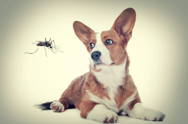 This article explores mosquito repellent for dogs including natural repellents, homemade sprays as well as DIY recipes that work and are safe for dogs.