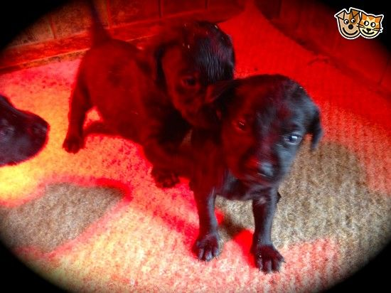 gamekeeper has some lovely labrador pups for sale | Clitheroe, Lancashire | Pets4Homes