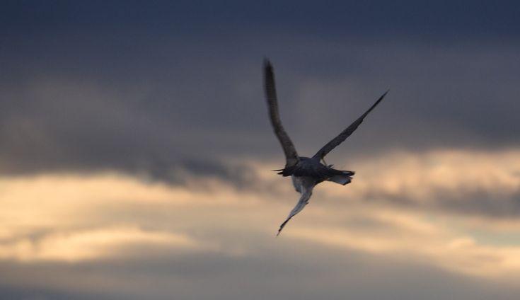 falco pellegrino preda un gabbiano su www.youanimal.it