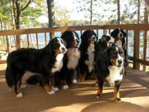 Michigan Bernese R is an adoptable Bernese Mountain Dog Dog in Ortonville, MI. Contact us at http://www.michiganberneserescue.org/ about information about the rescue program and our current fosters. W...