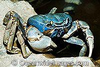 Christmas Island Blue Crab Cardisoma hirtipes