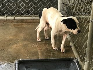 ●10•4•17 SL● ■S. CAROLINA■ ☆☆URGENT☆☆ - SWEET, SHY GIRL NEEDS LOVING HOME TO FEEL SAFE AGAIN! Fran is an adoptable Pit Bull Terrier searching for a forever family near Laurens, SC• Young • Female • Medium Laurens County Animal Control Laurens, SC