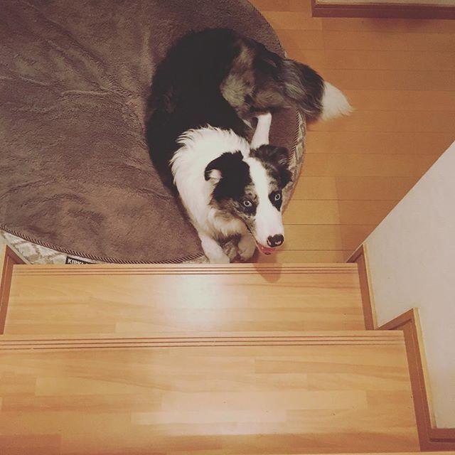 まだ#家 の#階段 は登れない😂 段差高いもんね。 前に一回だけ登れた事があります😅なんで登れたのかは未だに#謎 、、、 でもお外の階段は#大丈夫 ❣️ #犬 #dog #love #puppylove  #ボーダーコリーブルーマール  #ボーダーコリー #bordercollie  #puppy #子犬 #愛犬 #lovedogs  #犬のいる暮らし #ブルーマール  #cute #可愛い #cool #japan  #親バカ部 #犬ら部 #犬バカ部  #ash #instadog #picture