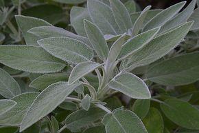 A sálvia é uma planta com muitas propriedades a favor da saúde. Uma delas é ajudar a desinchar o abdômen...