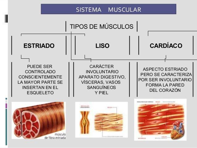 Image result for tipos de músculos