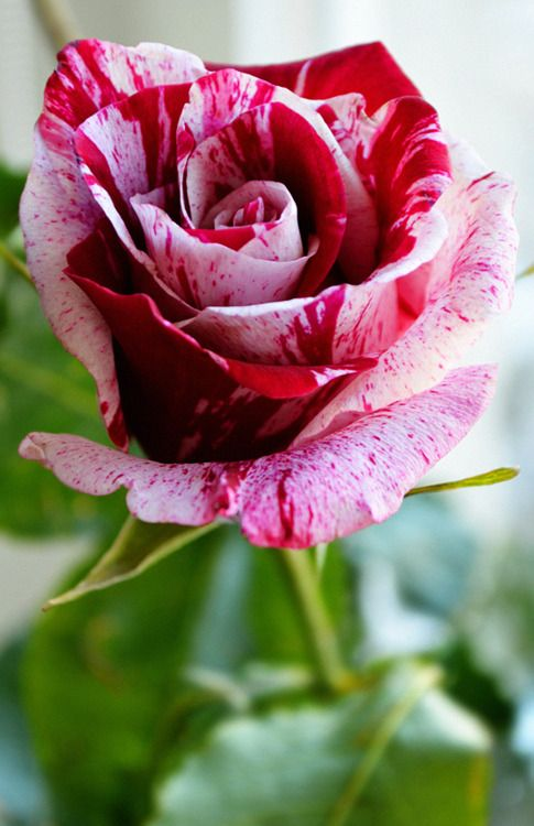 There was something rather blousy about roses in full bloom, something shallow and raucous, like women with untidy hair.  ~~ Daphne du Maurier, Rebecca ~~ ♥ X ღɱɧღ