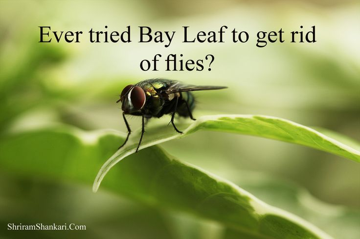 Whether you grow bay leaf outside or buy dried bay leaves, this herb provides great protection from flies. Ever tried bay leaf to get rid of those pesky flies?   Visit http://shankari.shriramproperties.com/ to live in a Sustainable Green Environment.