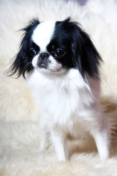 Japanese Chin Dog   ...........click here to find out more     http://googydog.com