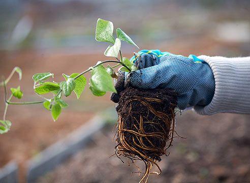 Как правильно посадить клематис. Где и как посадить клематисы. Обсуждение на LiveInternet - Российский Сервис Онлайн-Дневников