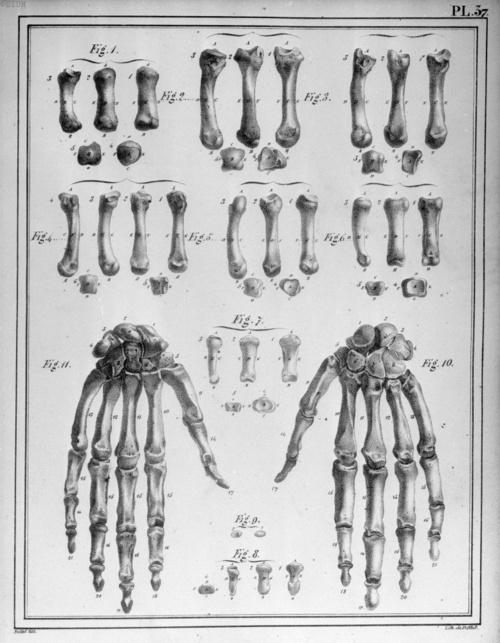 Pl. 37. Jules Cloquet (https://pinterest.com/pin/287386019948845673) - Handbones, from Handbook of Descriptive Anatomy of the Human Body, 1825.