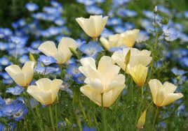 "Eschscholzia californica 'Alba' ""White California Poppy"""