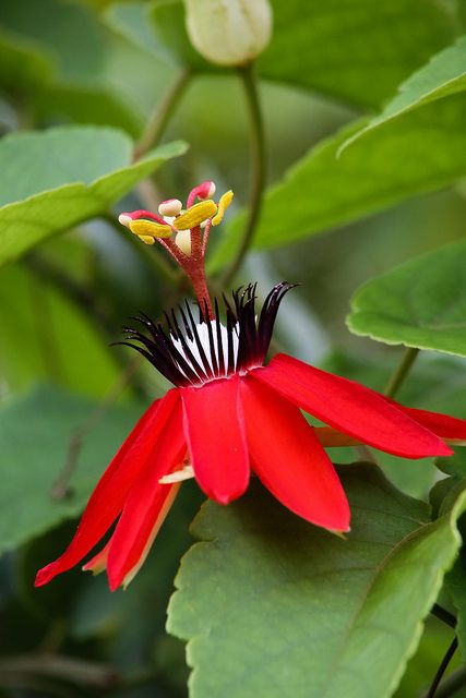 Passiflora..Red Passion Vine. We had these growing in Florida. It went all the way to the top of the Sycamore tree.