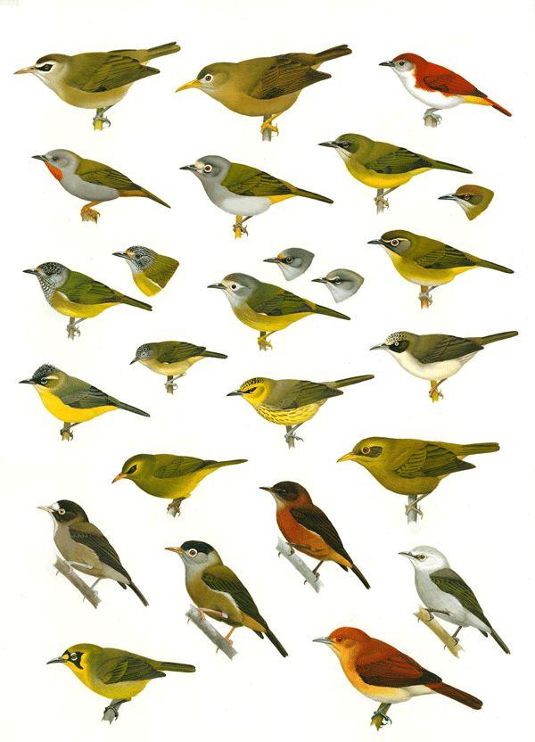 Mejores 59 imágenes de Chim en Pinterest | Pinturas de aves, Pájaros ...