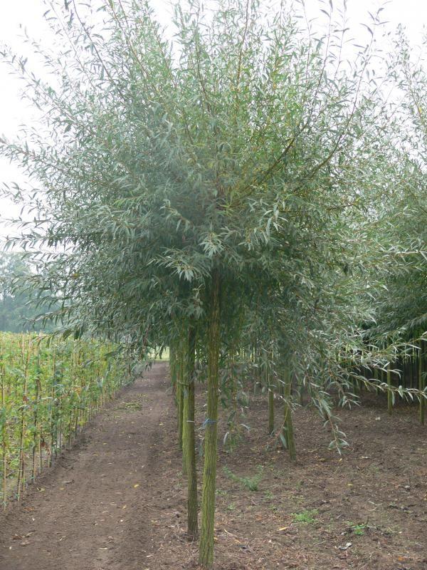 Les 10 meilleures images du tableau salix sur pinterest for Idees plantations exterieures