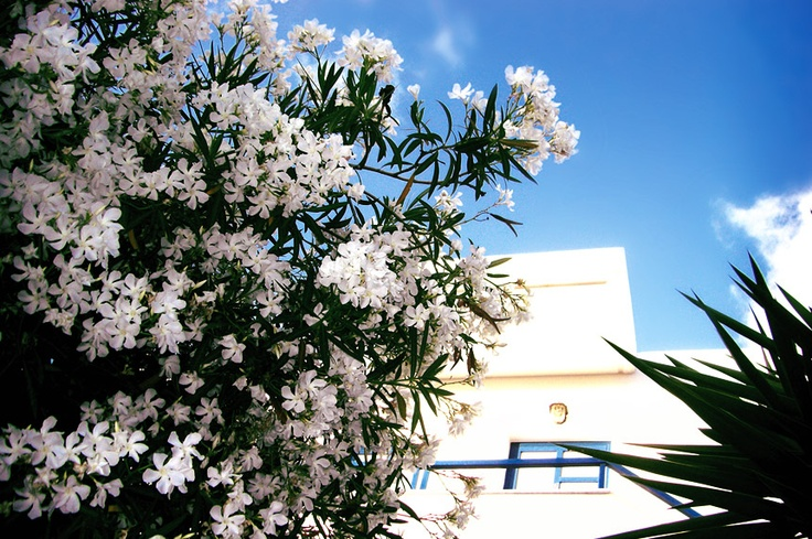 Oleander blossoms, to be found all over Crete in spring. http://www.kritiguide.com