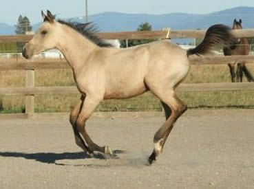 Palomino, buckskin, perlino, cremello performance Arabian and quarter horses for sale,  Arabian racing propects