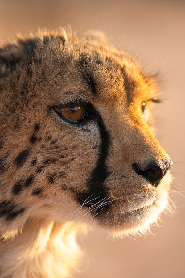Cheetah Portrait by Bas Meelker