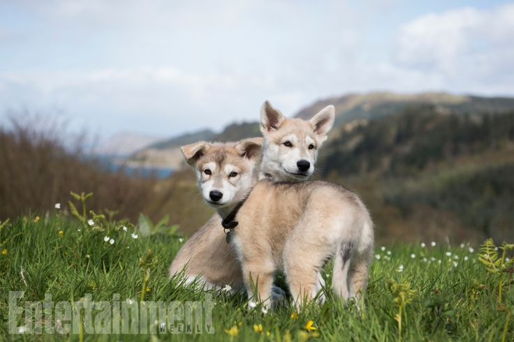 'Outlander' casts Rollo as a puppy for season 4. Meet the puppies who will play Rollo, a wolf hybrid that becomes a beloved member of the Fraser clan. Though Starz is still filming season 3 of the drama in South Africa, the producers wanted to begin training the Northern Inuit puppies for their very important role in the new season.