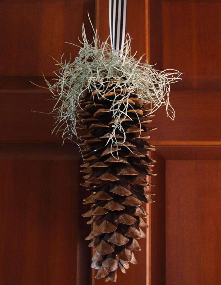 21 best images about sugar pine cone decorations on for Large christmas pine cones
