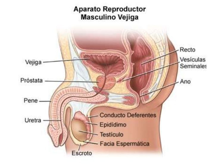 15 best Aparato Reproductor Masculino. images on Pinterest | Aparato ...
