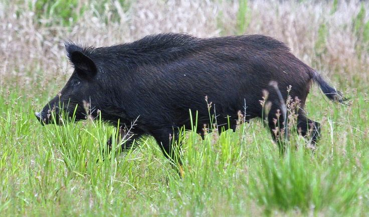 Bring home your own bacon! Recipes for wild boar and rabbit. | Central Florida Ag News - Your source for updates on Florida Agriculture.