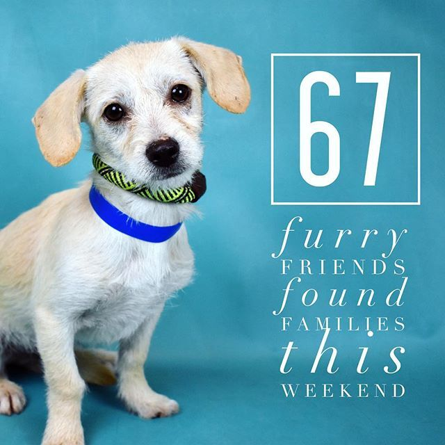 This Little Cutie And 66 Others Found Homes This Weekend Dog Dogsofinstagram Woof Rescuedog Humanesociety Ca With Images Humane Society Rescue Dogs Cutie