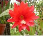 Cactées épiphytes demandant une atmosphère chaude, humide et ombragée : Epiphyllum, Epicactus, Selenicereus, Hylocereus, Rhipsalis…