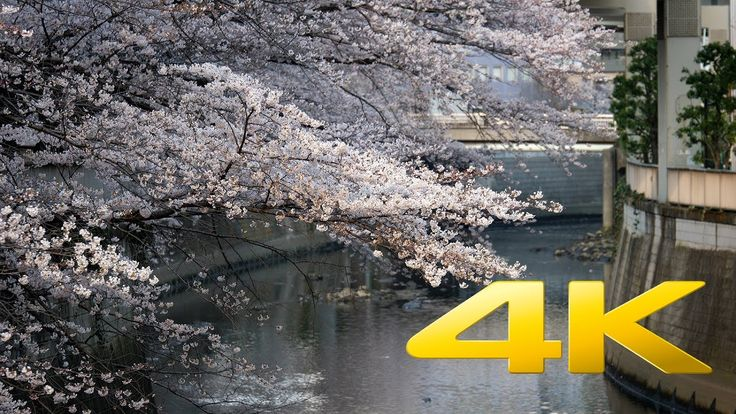 Sakura at Edogawa Koen - Tokyo - 江戸川区公園 - 4K Ultra HD 🌸 🇯🇵 🗼