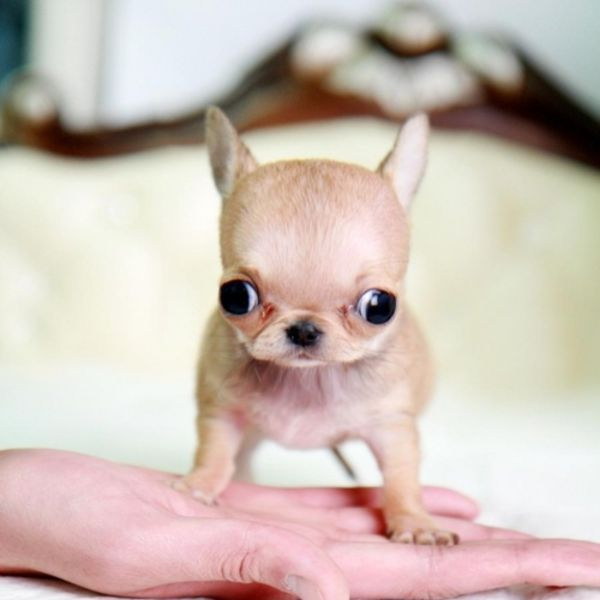 newborn teacup chihuahua 41 best chihuahua puppy s images on pinterest teacup 6218