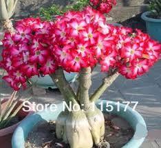 planta flor del desierto - Buscar con Google