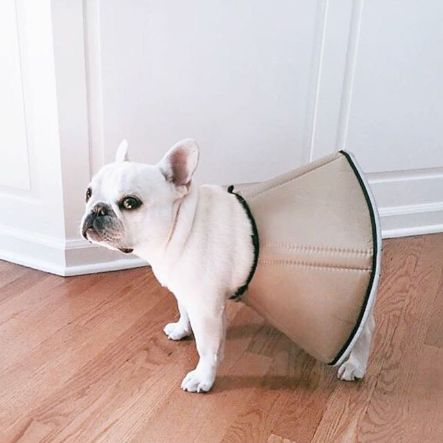 """""""I Hate Fashion"""", Theo Bonaparte, a French Bulldog forced to wear his 'padded cone of shame', as a skirt, @theobonaparte on instagram."""