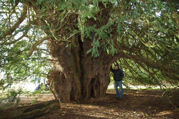 Ankerwycke Yew, England