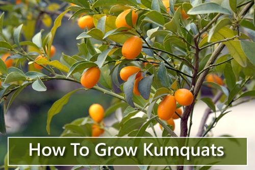 How To Grow Kumquats - they are like teeny tiny little oranges loaded with healthy nutrients... #gardening #homesteading