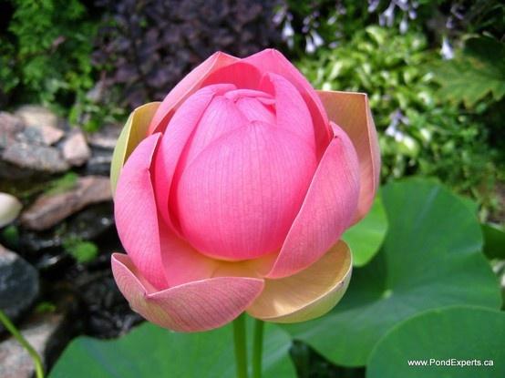 Carolina Queen Lotus Flower Day 2