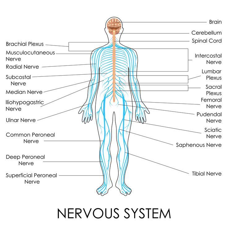 11 best Sistema Tegumentario/ Piel images on Pinterest | Medicine ...