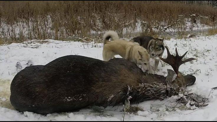 Трудовая зимняя охота на Лося с лайками
