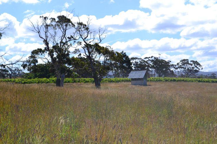 Our #PinotNoir #vineyard on the east coast of #Tasmania