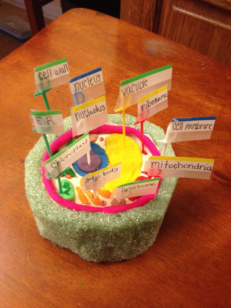 Plant cell model with play-doh and foam. DIM