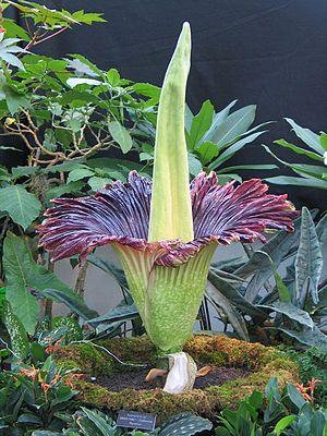 #Titanenwurz (Amorphophallus titanum) im United States Botanic Garden, Washington D.C., 20. November, 2005 #Araceae