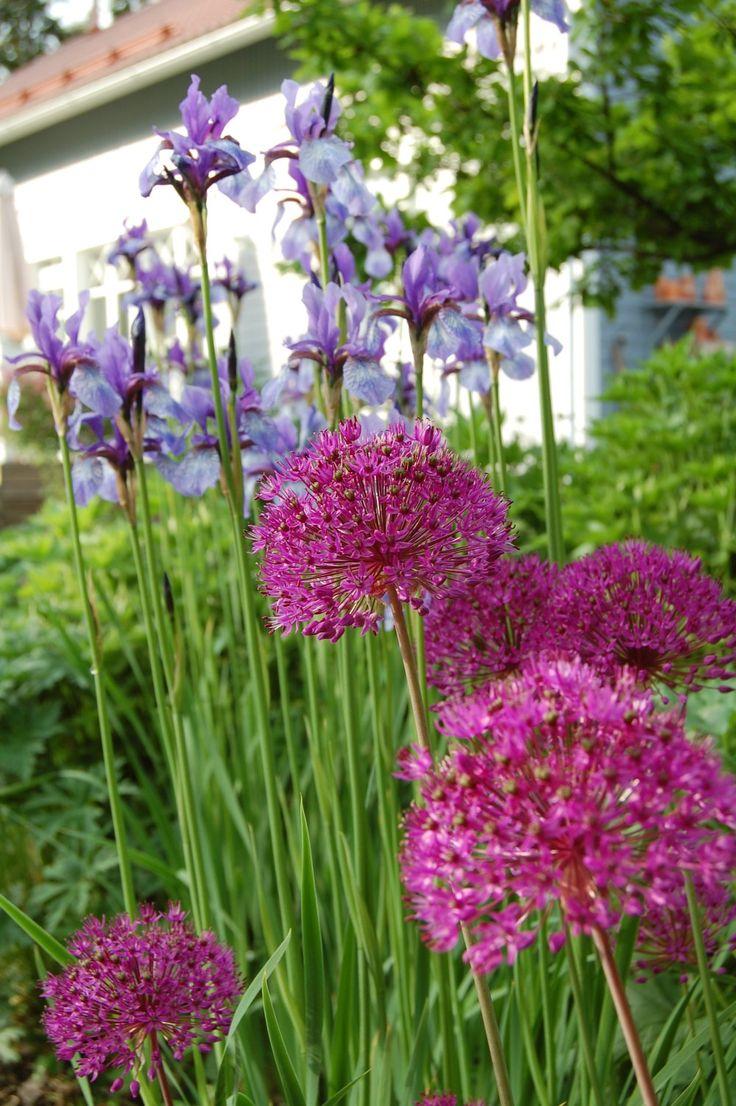 """From a Finnish blog """"Marian koti ja puutarha"""": allium and iris."""
